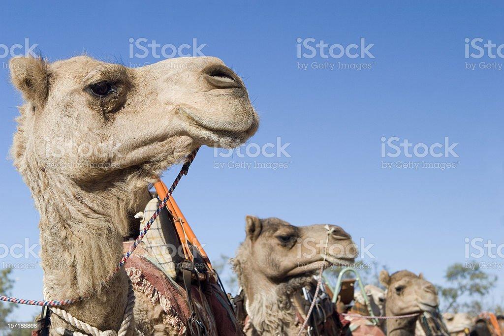 Camel Profiles - Three royalty-free stock photo