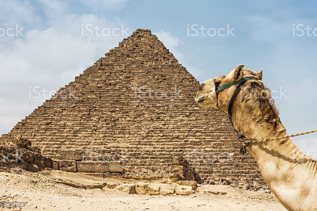 camel pyramid egypt stock photo
