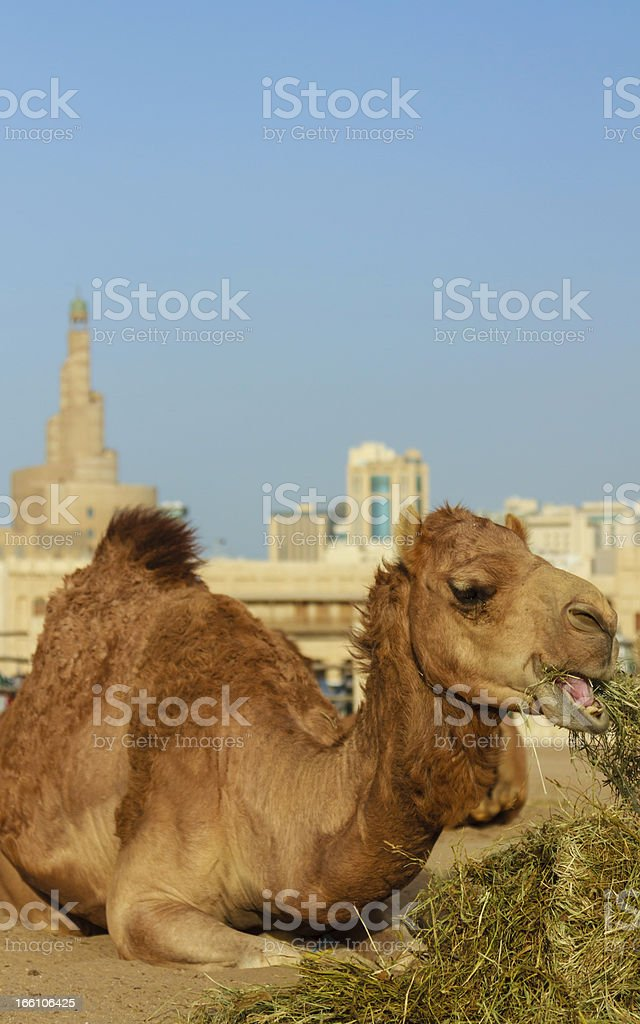 Camel relaxing in front of a mosque royalty-free stock photo
