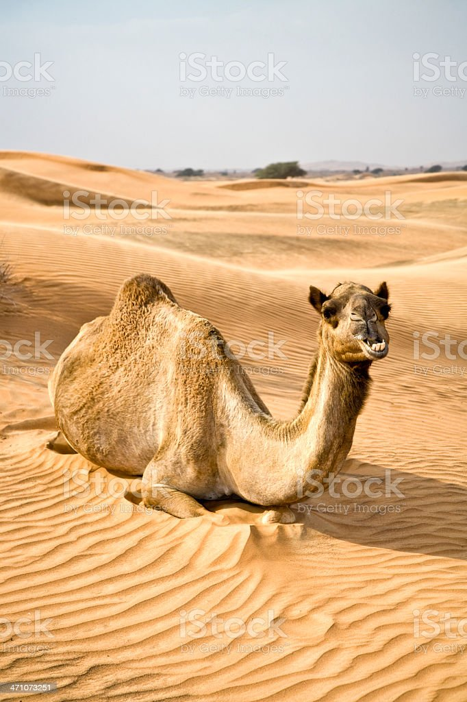 Camel relaxing in Sand Dunes royalty-free stock photo
