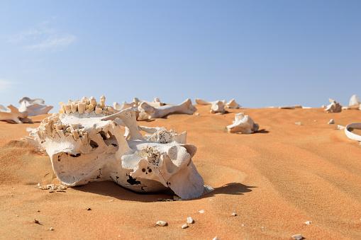 Fragments of camel skeleton found in the desert.