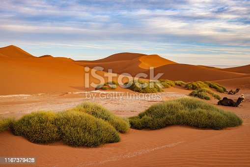 Camel resting in the sunset at Sahara Desert after a long walk,morning, Mhamid, Morocco ,North Africa,Nikon D3x