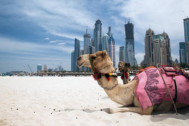 camello de reposo al aire libre, a la ciudad - camello fotografías e imágenes de stock