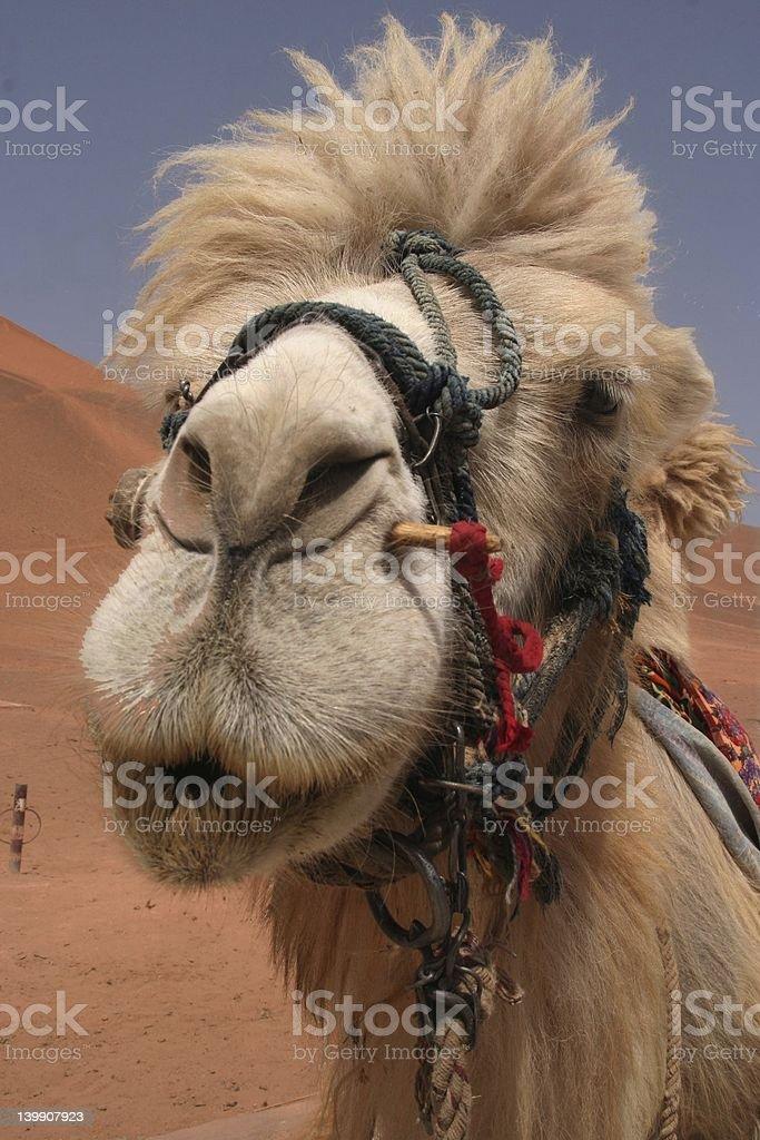 Camel ride, anyone? royalty-free stock photo