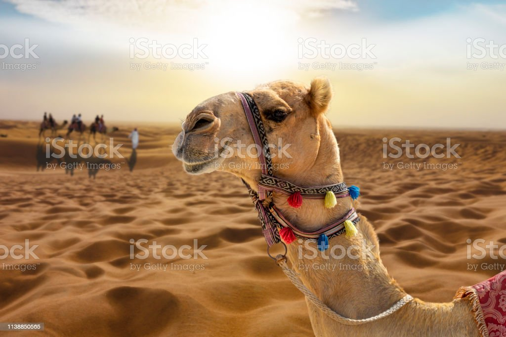 Camel Ride In The Desert At Sunset With A Smiling Camel ...