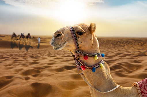 Camel ride in the sunny desert at sunset with a smiling camel head