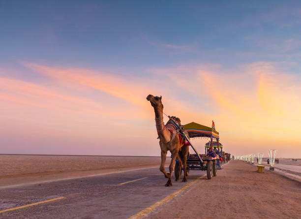 Camel ride Camel Cart Ride at White desert of Greter Rann of Kutch, Gujarat, India working animal stock pictures, royalty-free photos & images