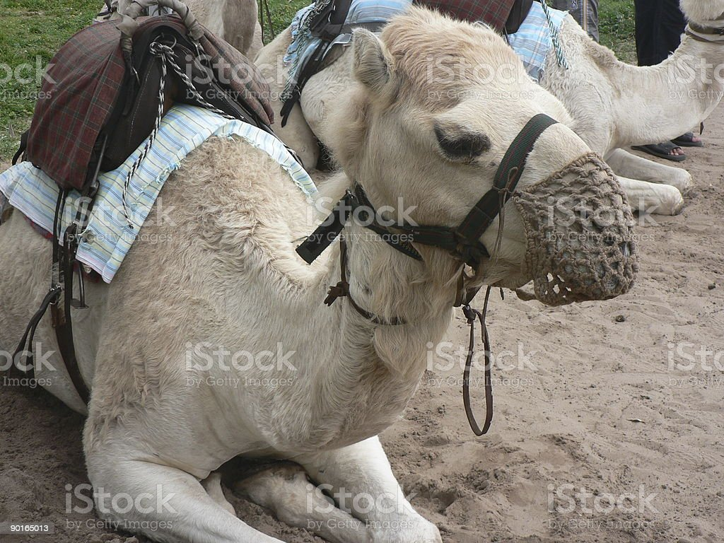 Camel rides royalty-free stock photo