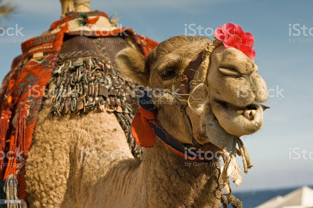 camel romeo stock photo