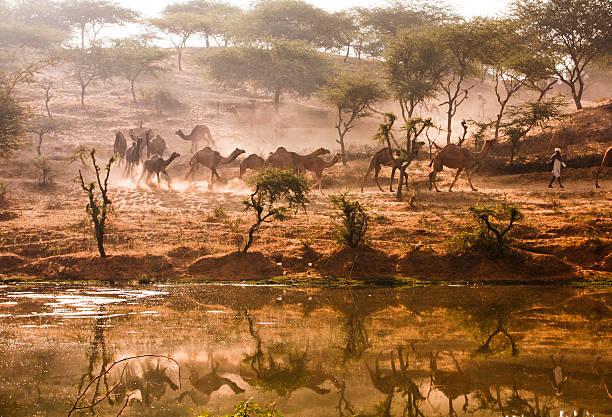 Camel Run stock photo