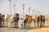 A camel shepherd herds camels at Souq Al Jamal camel market in Riyadh Saudi Arabia on a sunny day.