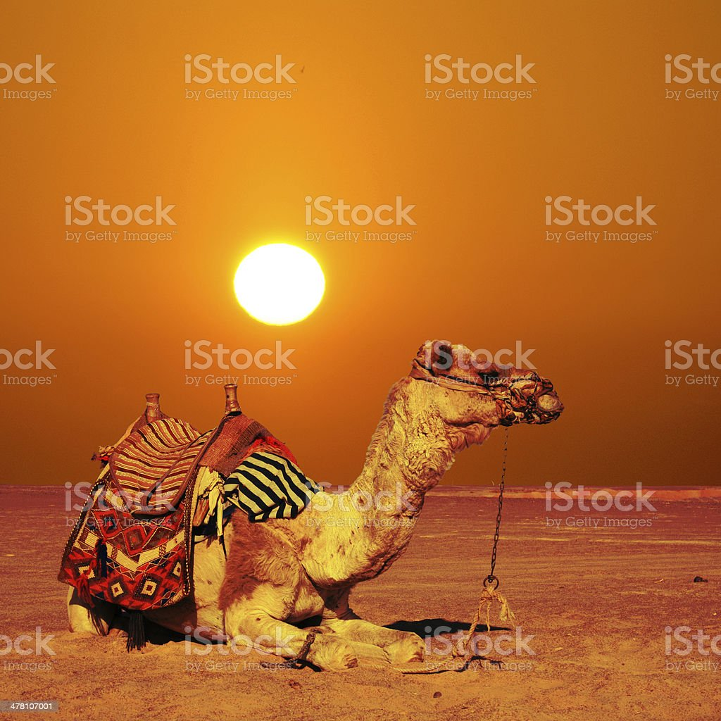 camel sits royalty-free stock photo