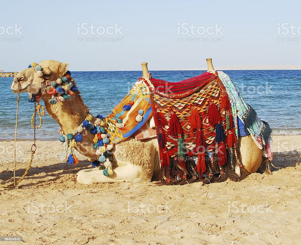 A camel sitting near the shore royalty-free stock photo