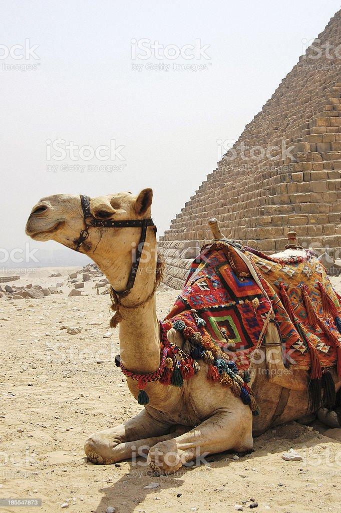 Camel sitting next to a pyramid at Giza. royalty-free stock photo