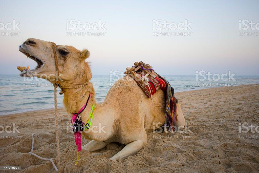 Camel sitzt auf einem Strand – Foto