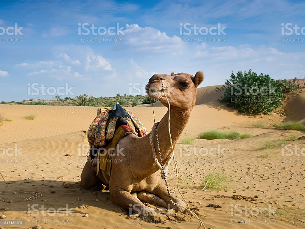 Camel sitting on a desert stock photo
