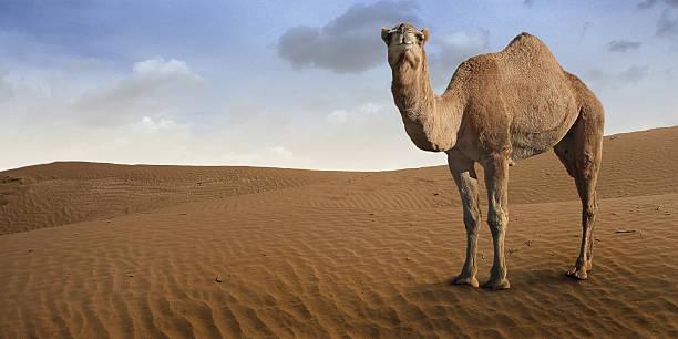 camello standing in front of the desert. - camello fotografías e imágenes de stock