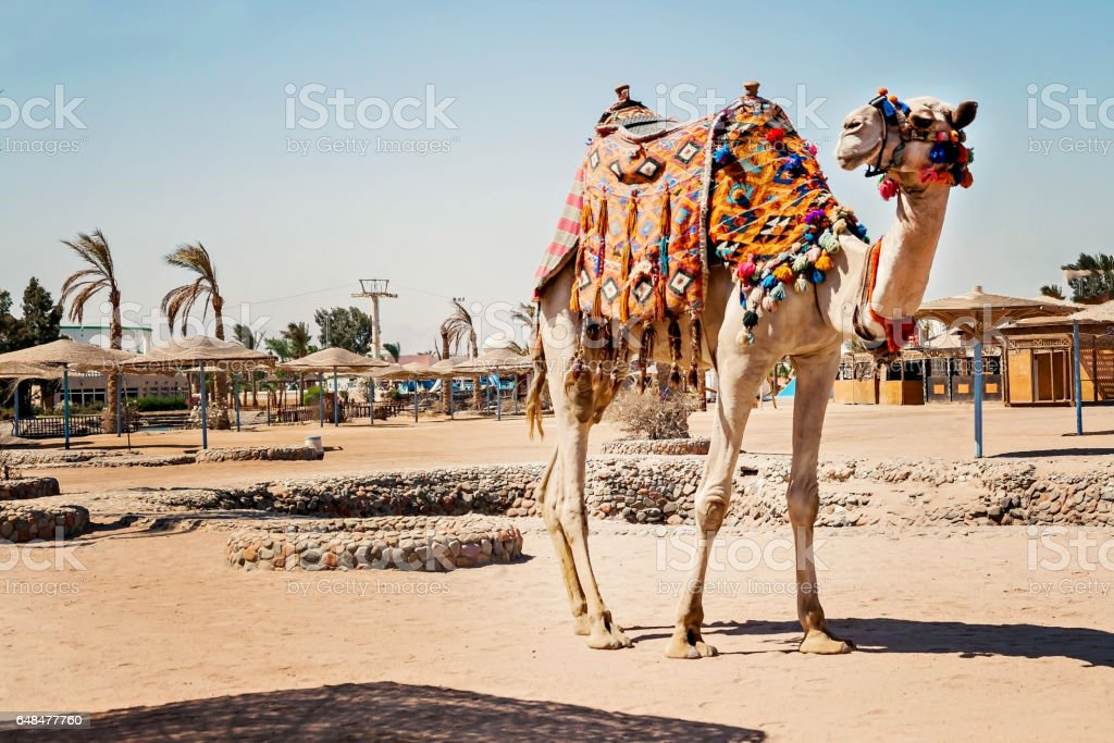 Camel standing to his full height, using for tourist trips to Hurghada, Egypt stock photo