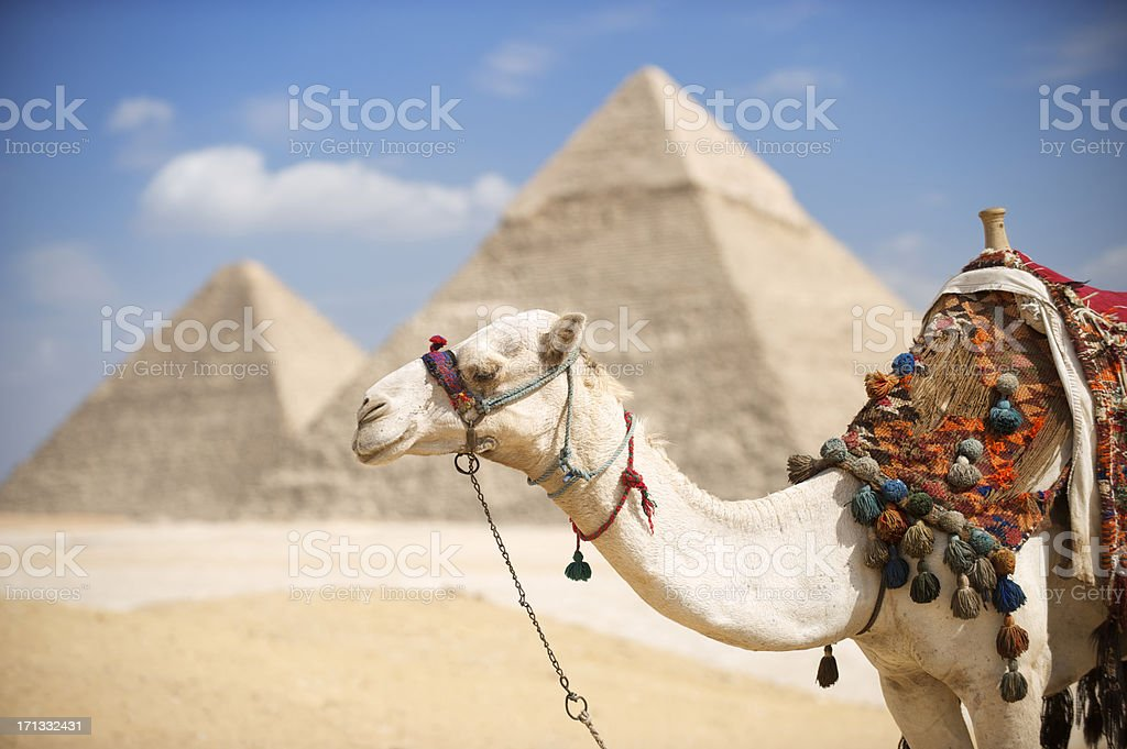 Camel Stands at Great Pyramids of Giza Egypt stock photo