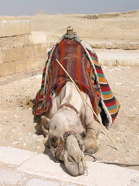 Camel taking a break stock photo