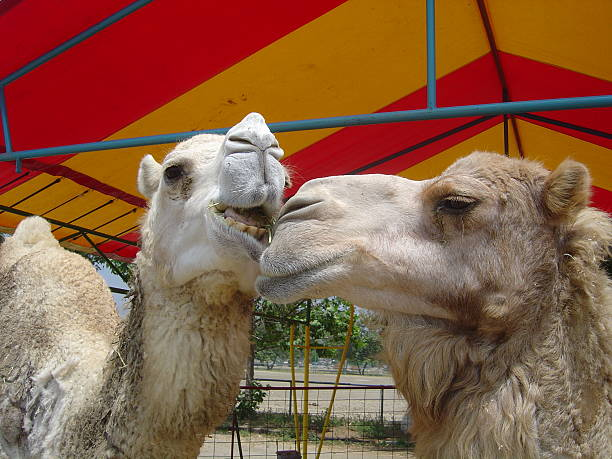 Camel Talking To One Another Stock Photo - Download Image Now - iStock