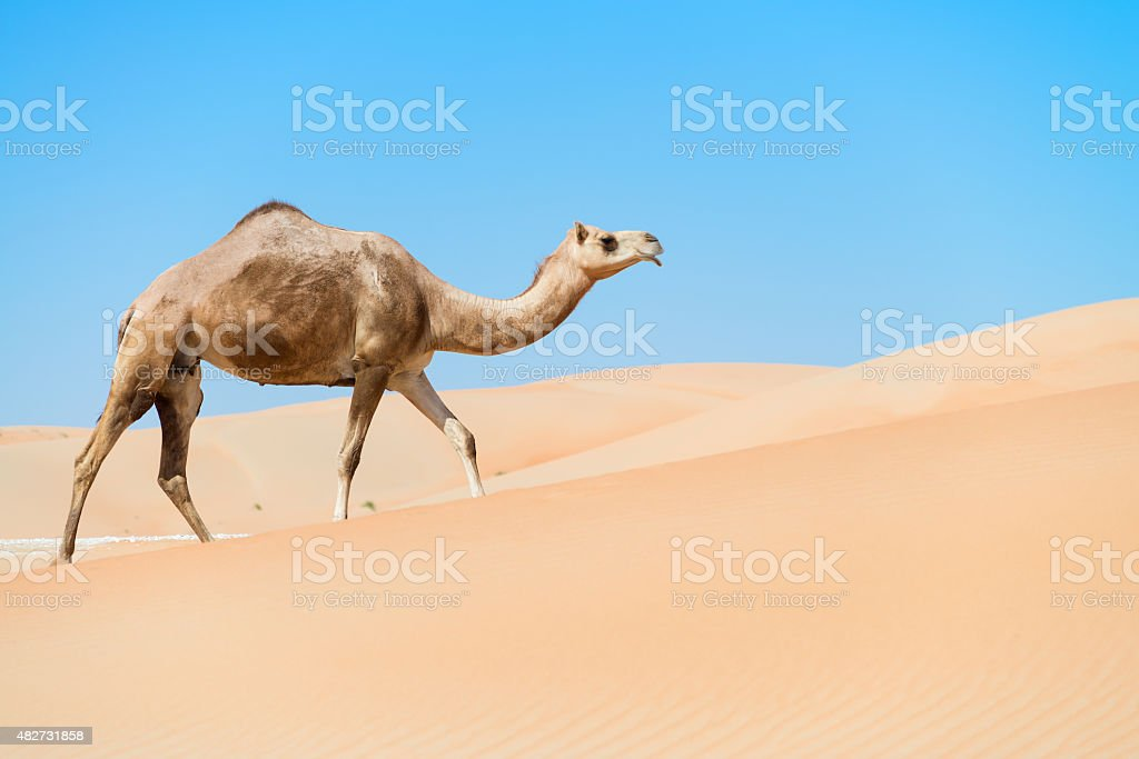 Camel through the dunes stock photo