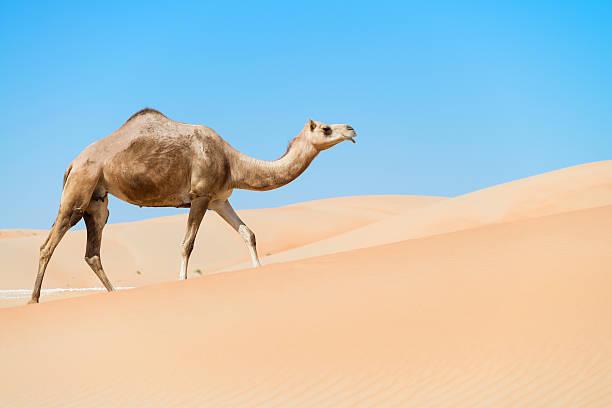 Camel through the dunes stock photo