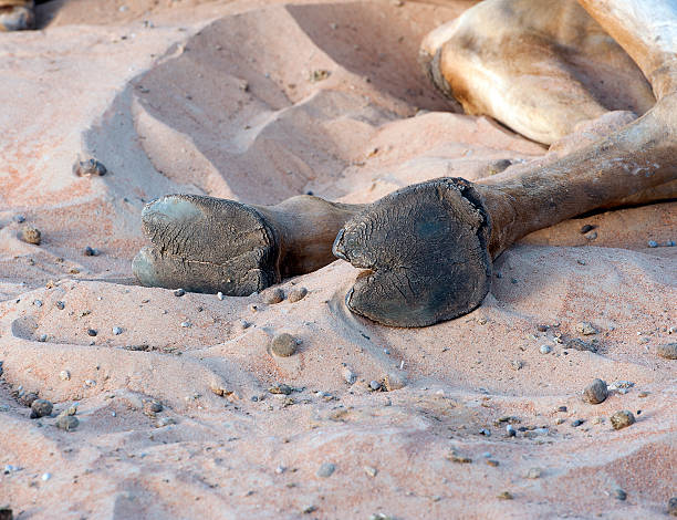 Camel toes - Arabian Desert, Dubai, UAE stock photo
