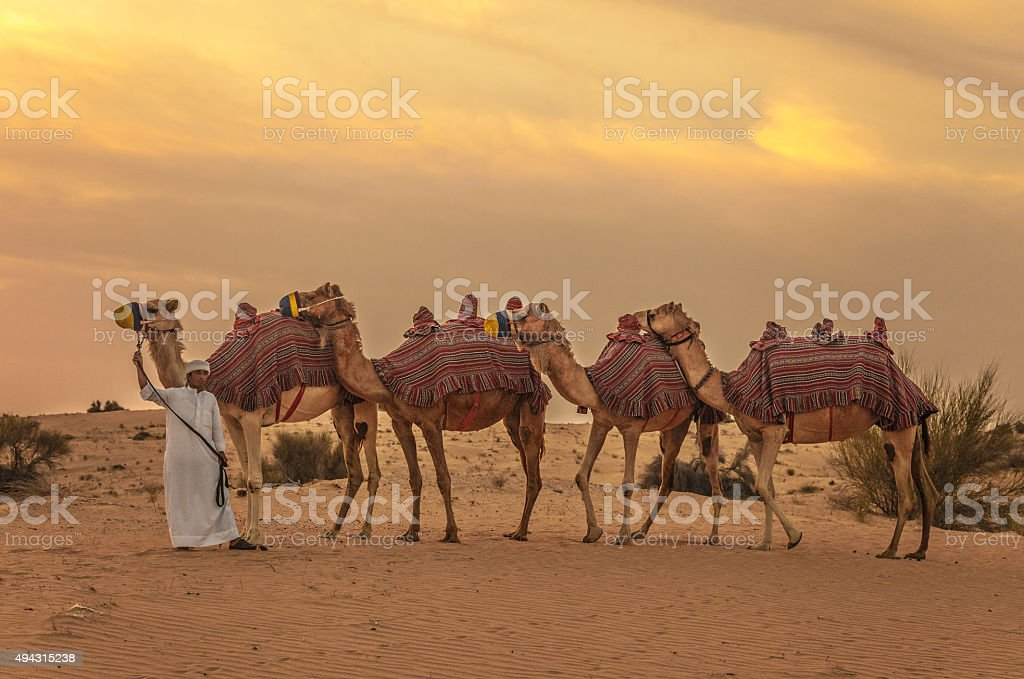 Camel train and herder in desert sunrise stock photo