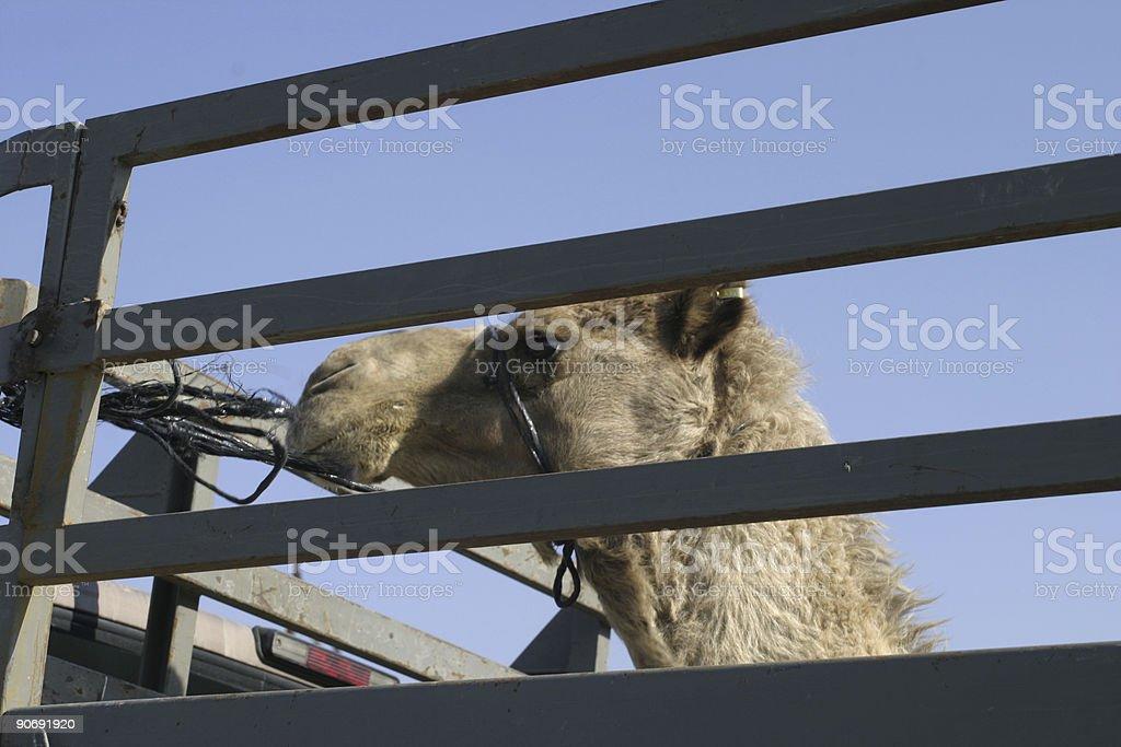 Camel transportation royalty-free stock photo