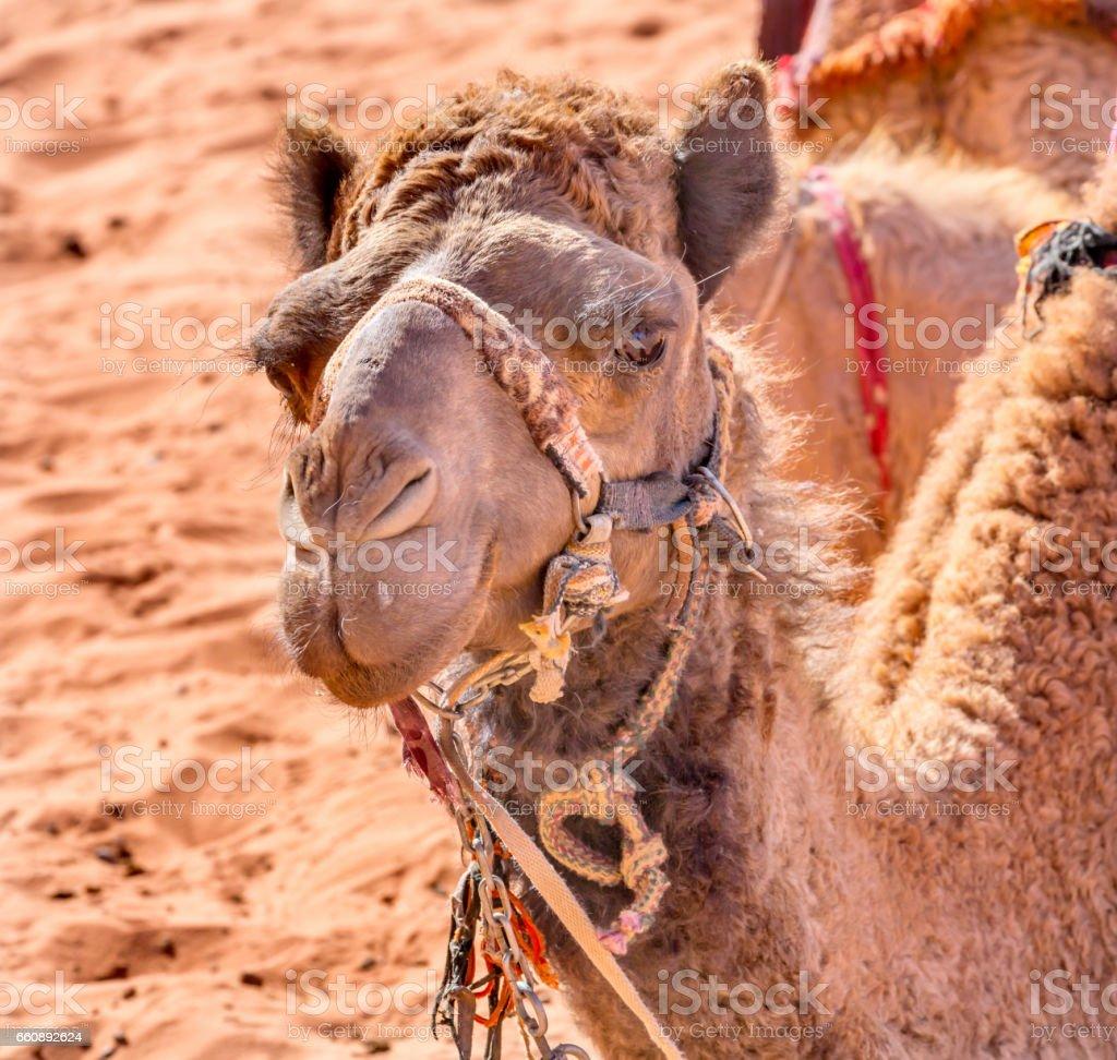 Camel Valley of Moon Wadi Rum Jordan stock photo