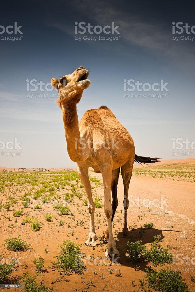 Camel Wahiba Sands Desert Oman Arabia royalty-free stock photo