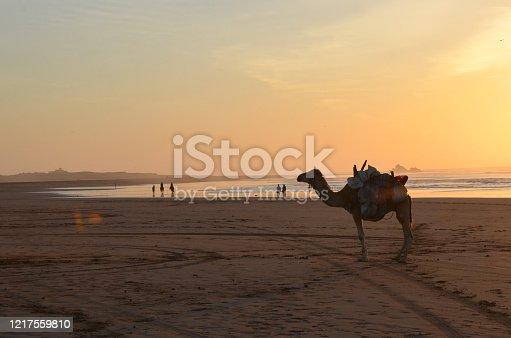 Ride a camel across Essaouira's beaches, dunes and forests during sunset time. Essaouira, Morocco, is a stunning beach, a kitesurf paradise and Game of Thrones location.