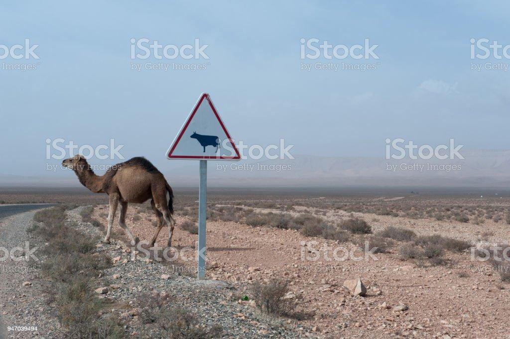 Chameau en attendant de traverser la route - Photo