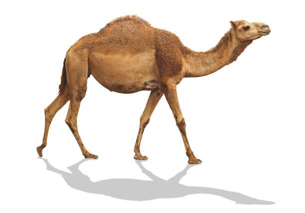 camello waling aislado sobre fondo blanco con trazado de recorte son sombra - camello fotografías e imágenes de stock