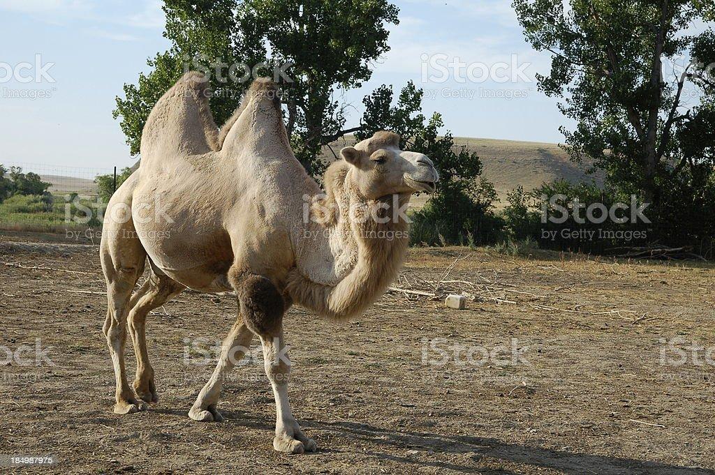 Camel Walk royalty-free stock photo