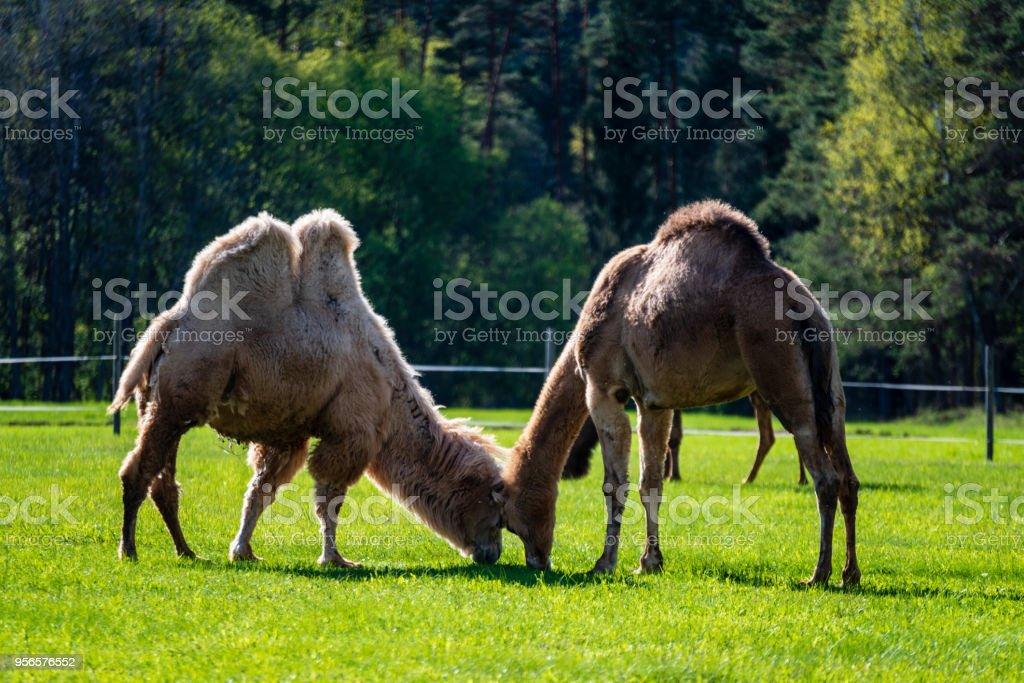 4ef2b88a2392 Kamel Zu Fuß Und In Einem Grünen Feld Gras Füttern Stockfoto und ...