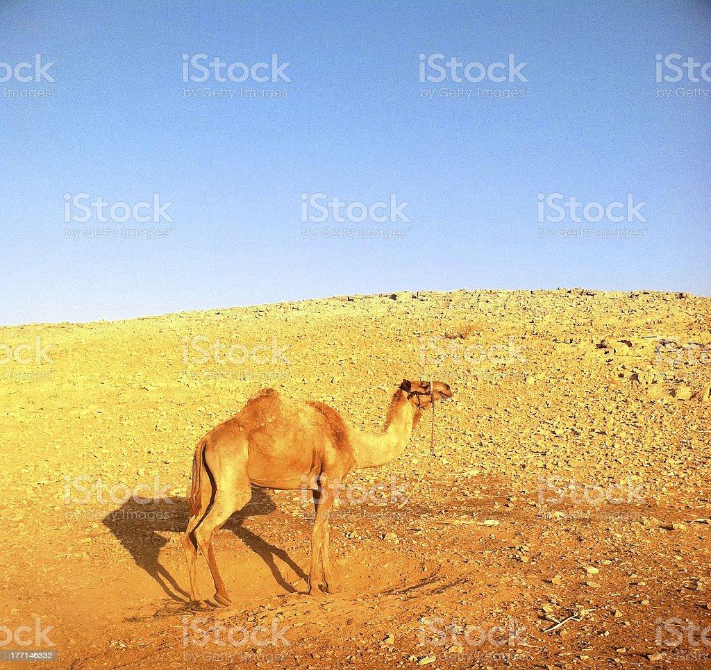 Camel Walking in Desert royalty-free stock photo
