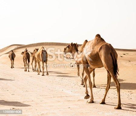 camel walking in the desert