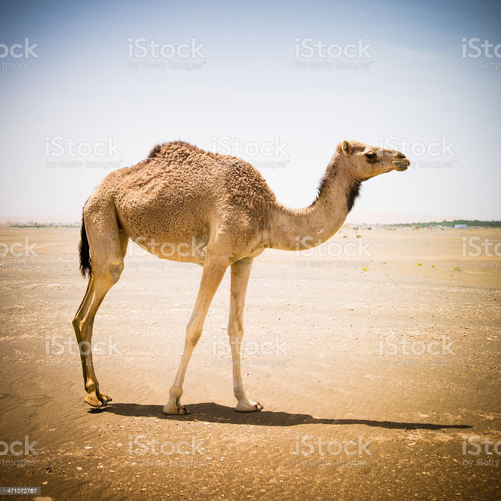Camel walking in the desert royalty-free stock photo
