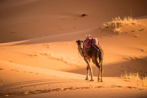 Camel Walking On The Dunes Of The Sahara Desert At Sunset ...