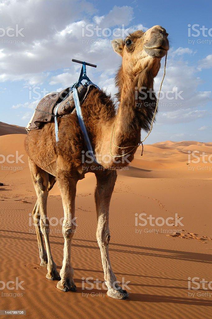 Camel walking through the sand in the Sahara Desert royalty-free stock photo
