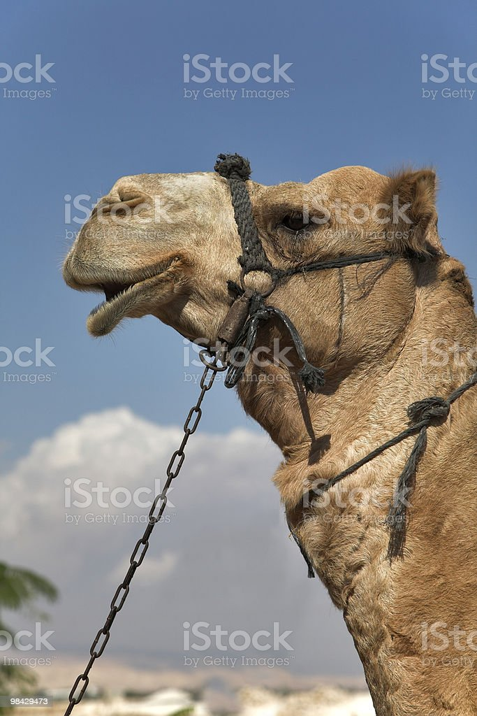 Camel with a bridle royalty-free stock photo
