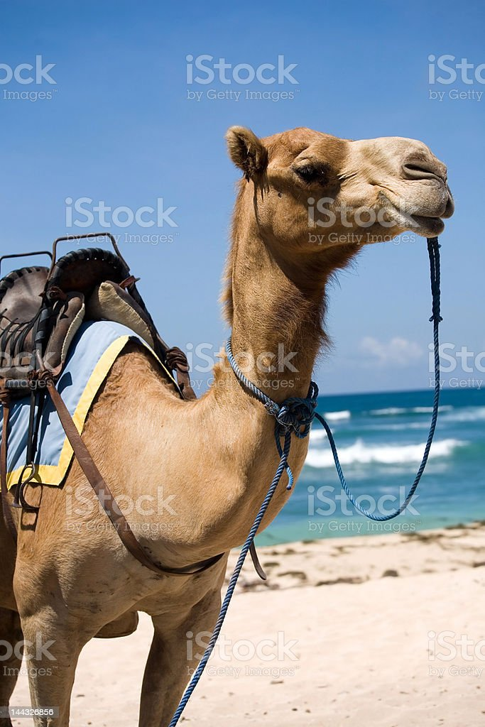 Camel with a saddle at the beach with blue sky royalty-free stock photo