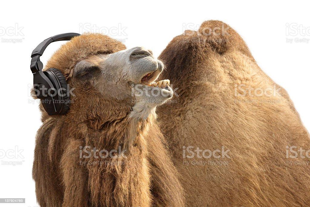 Camel with headphones singing passionately stock photo