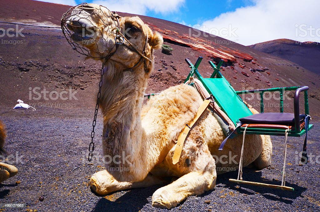 Camel with montain background in Lanzarote, Canaries stock photo