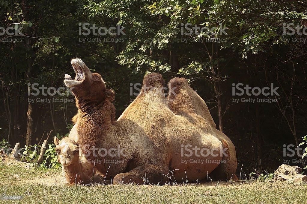 Camel Yawn royalty-free stock photo