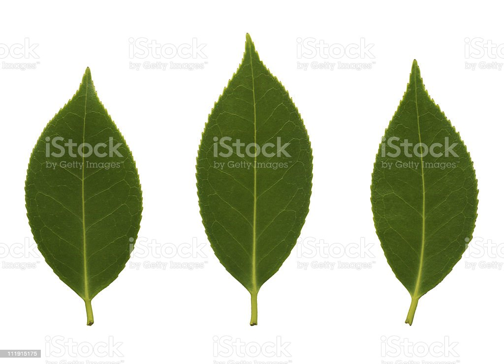 Camelia leaves royalty-free stock photo