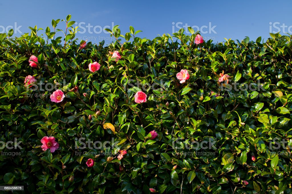 camellia-a-beautiful-hedge-plant-picture-id660458676 Camellia As Houseplant on