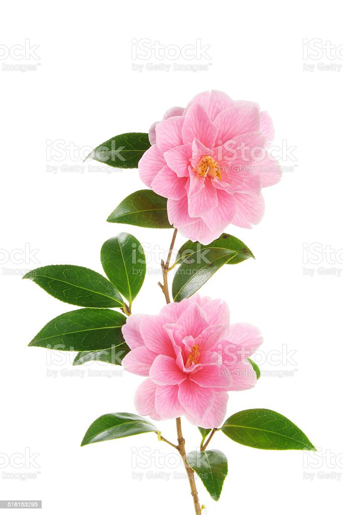 Camellia branch with two flowers stock photo